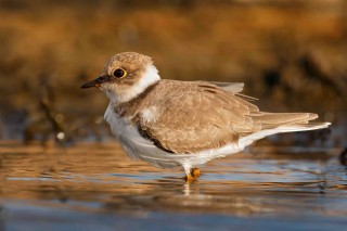 bigstock-Little-cute-water-bird-Nature-211001356